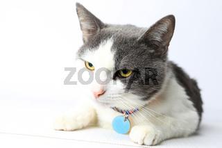 Portrait domestic cat on white background