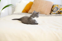 Cute little British shorthair kitten