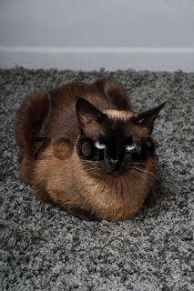 siamese cat resting on carpet