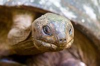 Aldabra-Riesenschildkröte (Aldabrachelys gigantea)