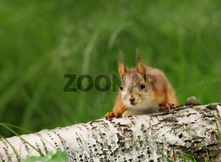 Close-up of a surprised Red squirrel on a log