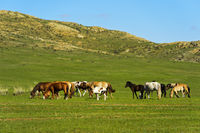 Pferdeherde grast in der Steppe, Mongolei