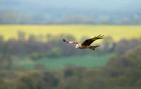 Red kite flying over farmland fields