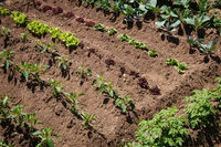 small vegetable plants growing in garden bed ,