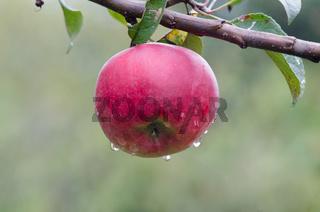 Apples, apple tree. Red apple on the tree.