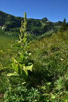 Gewoehnlicher Germer auf der Kanisalpe im Bregenzerwald bei Mellau