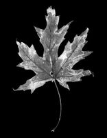 Fallen autumn leaf on black. Negative picture.