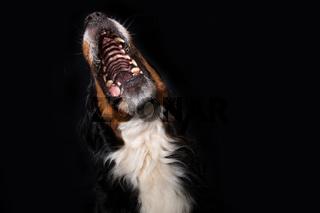 Bernese mountain dog on black background