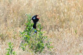Northern Black Korhaan Namibia, Africa safari wildlife