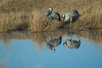Common cranes (Grus grus) reflected in a lagoon. Gallocanta Lagoon Natural Reserve. Aragon. Spain.