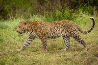 Leopard walks through grass with bush behind