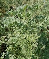 Wermut, Artemisia, Absinthium