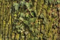 Efeu an einem Baumstamm