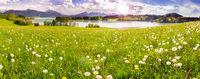 Blumenwiese im Frühling am Forggensee im Allgäu