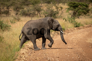 African elephant lifts foot crossing dirt road