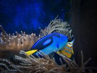 Paletten-Doktorfisch mit Kupferstreifen-Pinzettfisch