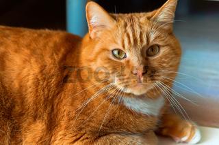 red cat, home fat cat, red cat home beautiful