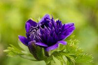 purple flower, beautiful purple flower among the greenery