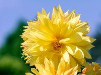 Yellow dahlia flower blossom