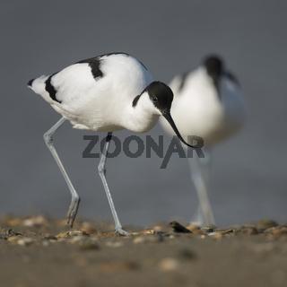 ein Pärchen oder nur zwei gemeinsam... Säbelschnäbler * Recurvirostra avosetta *