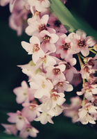 Bergenia flower close up