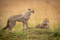 Cheetah cub stands by sibling on grass