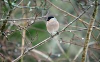 bullfinch in winter