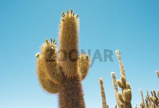 giant cactus plants