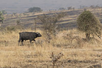 African Buffalo which stands in the shrub savannah in the dry season