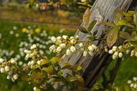 Blüten von Kulturheidelbeeren (Vaccinium) im Anbau im Gewächshaus