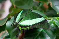 Emerald swallowtail, Papilio palinurus