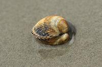 Gemeine Herzmuscheln (Cerastoderma edule)