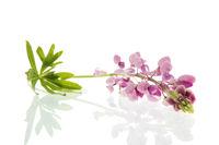 Pink Lupine flower