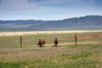 Mongolian horses tied on rope holder