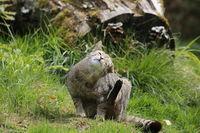 Wildkatze bei der Fellpflege