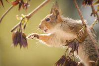 red squirrel stand on a elderberry branch