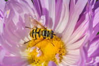Yellow hoverfly eats nectar in pink aster flower