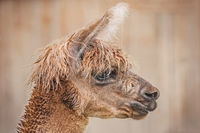 Portrait of Alpaca