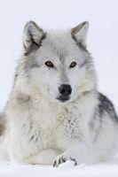 aufmerksam... Timberwolf  * Canis lupus lycaon *