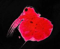 Microscopy Image Daphnia Water Flea Freshwater Aquatic Crustacean