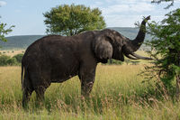 African elephant lifts trunk while browsing bush