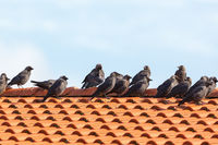 Jackdaws on the roof that sits in row