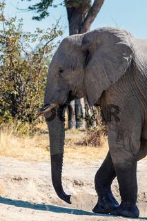 African Elephant, Botswana safari wildlife