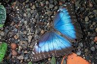 Blue morpho butterfly, Morpho peleides