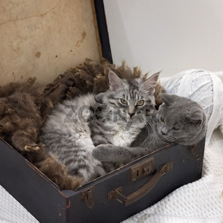 Maine Coon And British Short Hair Kittens In A Suitcase