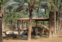 Lot of lama animals breeding straw