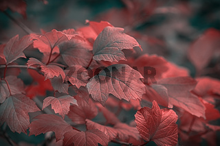 Beautiful autumnal bright guelder rose leaves branch. Shallow depth of field. Low key effect. Vintage dark toned fall composition. Copy space. Nature background. Greeting card template