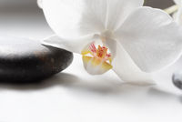 White orchid on black stone