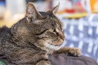 entspannt liegende graue Hauskatze - Portrait
