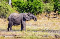Elephants in the Okavango Delta